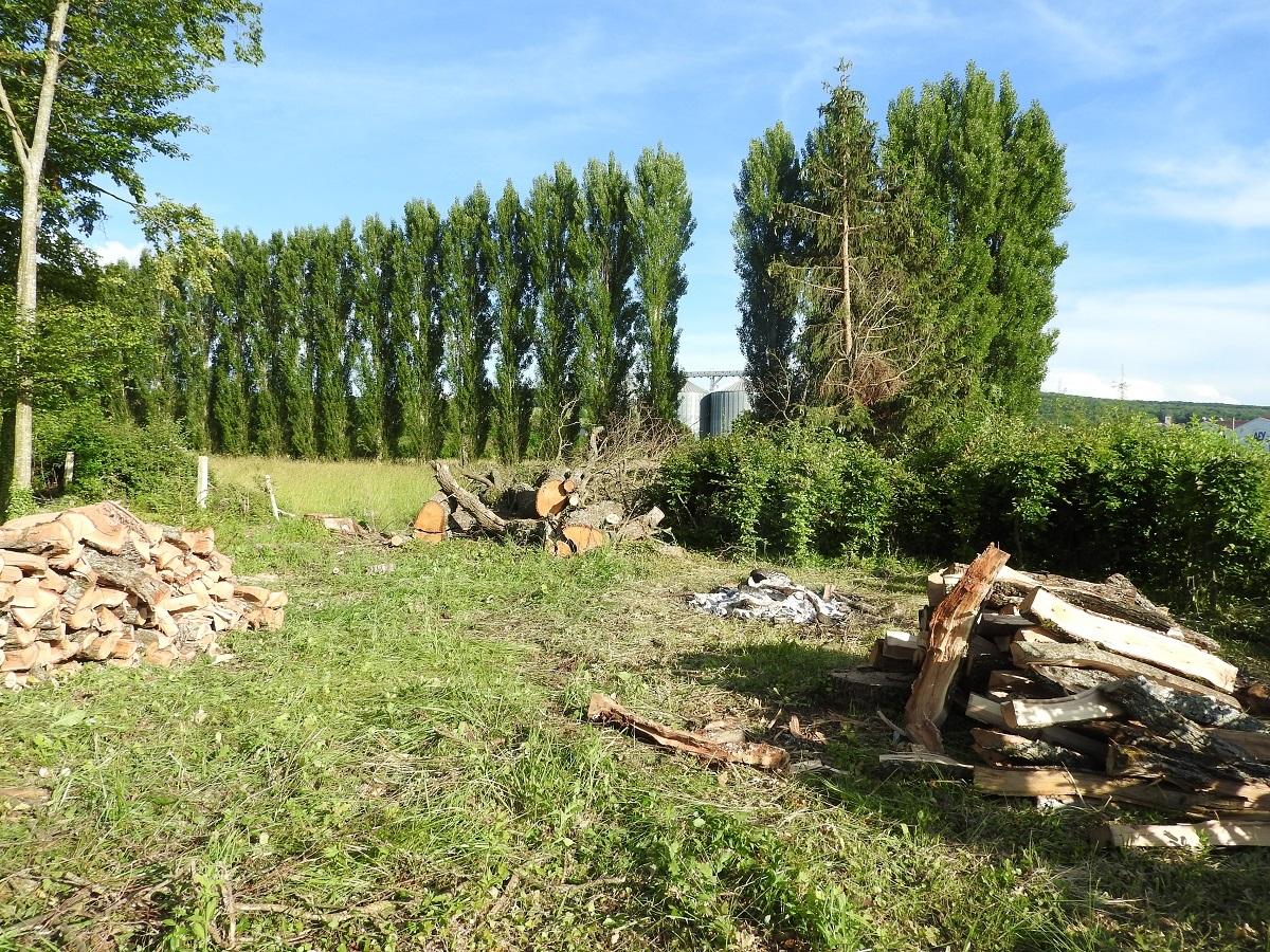 les vieux chênes abattus