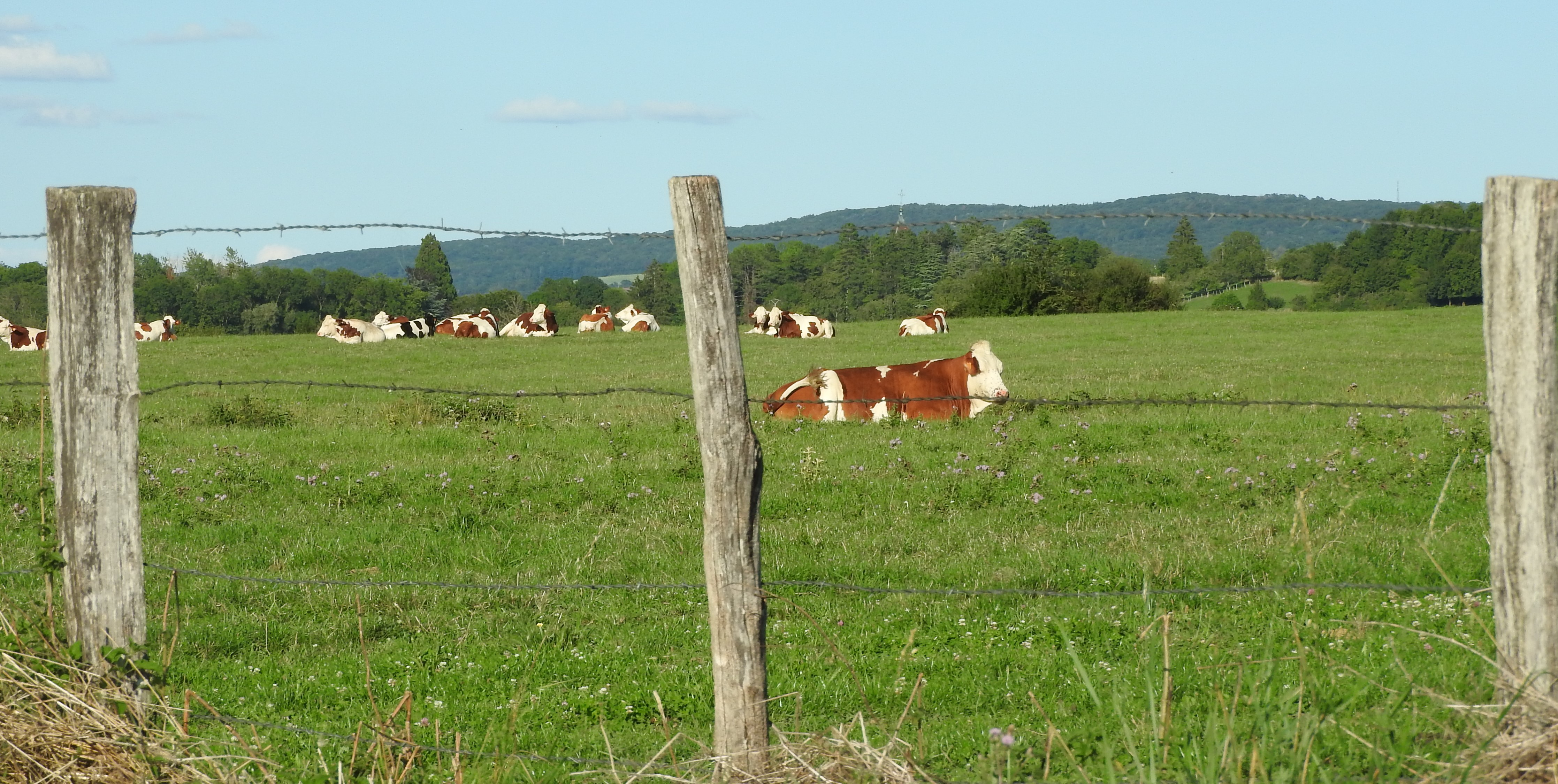 de la bonne herbe... du bon lait