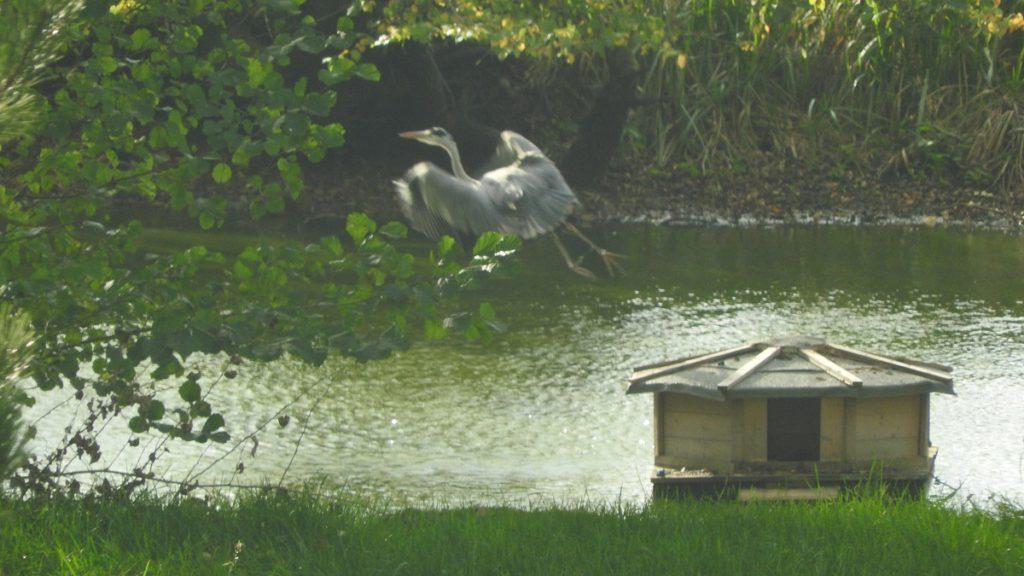 Le héron fidèle à l'étang