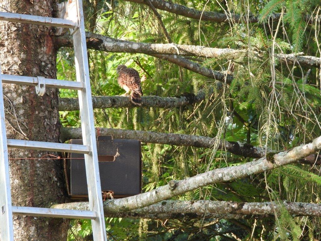 la faucon crécerelle sauvé