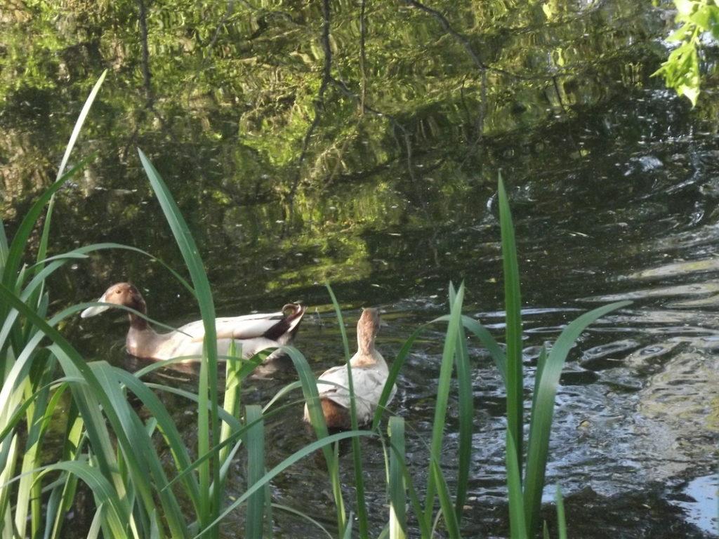 les canards sauvages ont élu domicile sur l'étang depuis des années