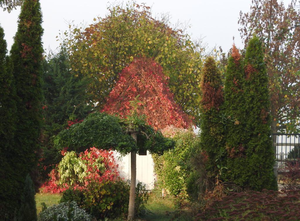 Sophora-pleureur-automne-1