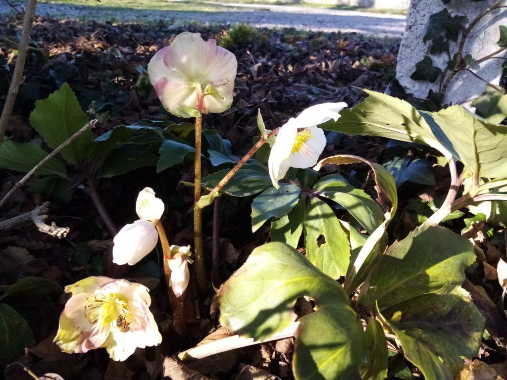 Délicates roses de Noêl