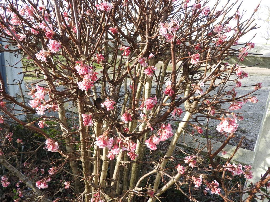 Viburnum bodnentence et son parfum d'hiver