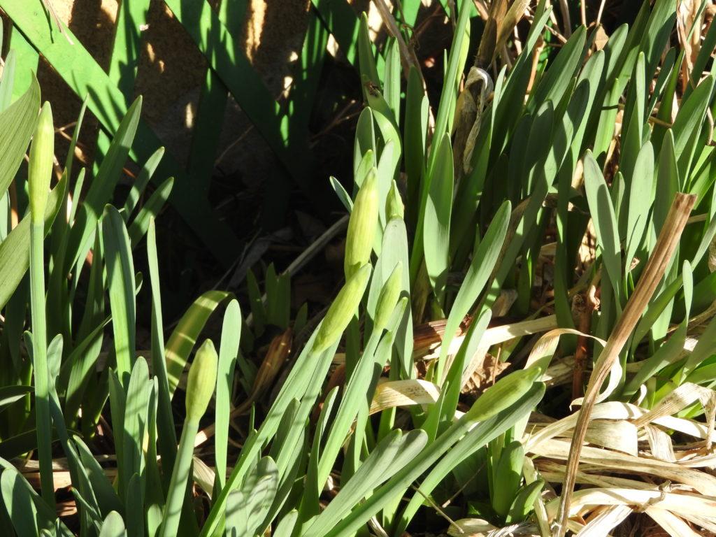 prémices du printemps avec les jonquilles