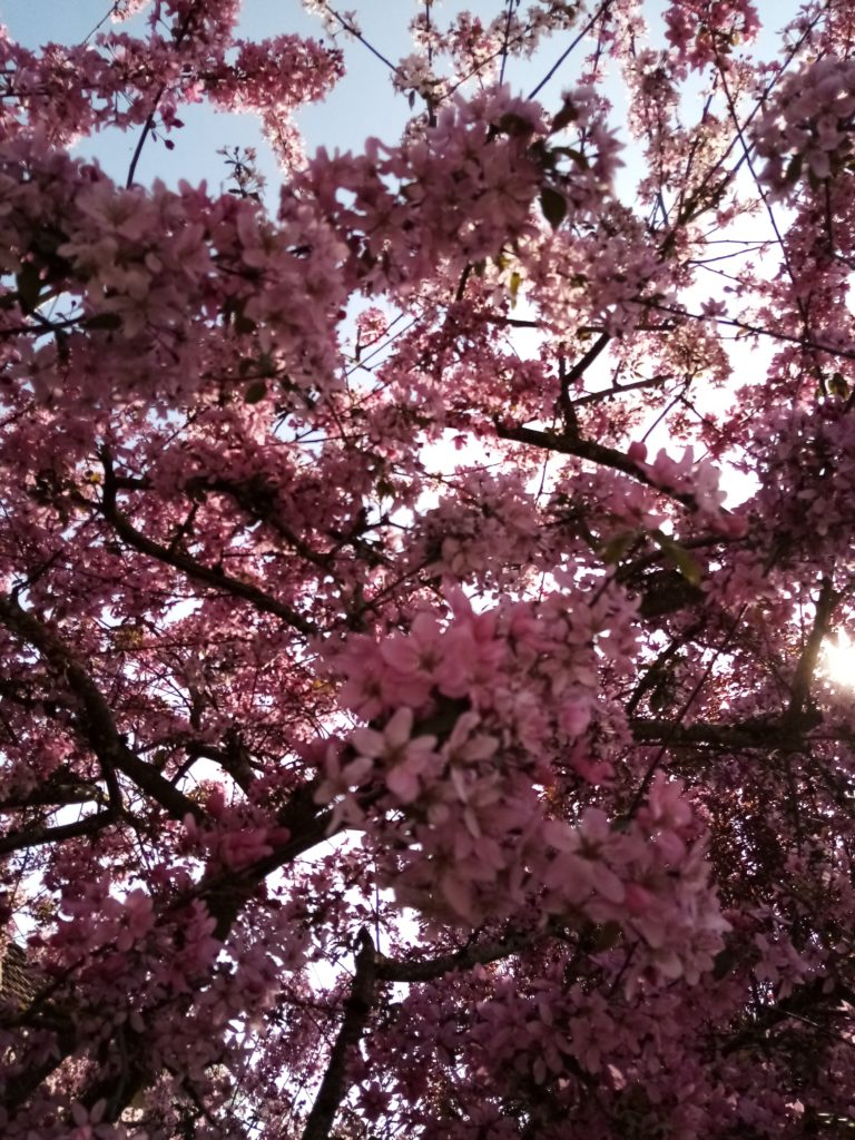 La charmotte en fleurs