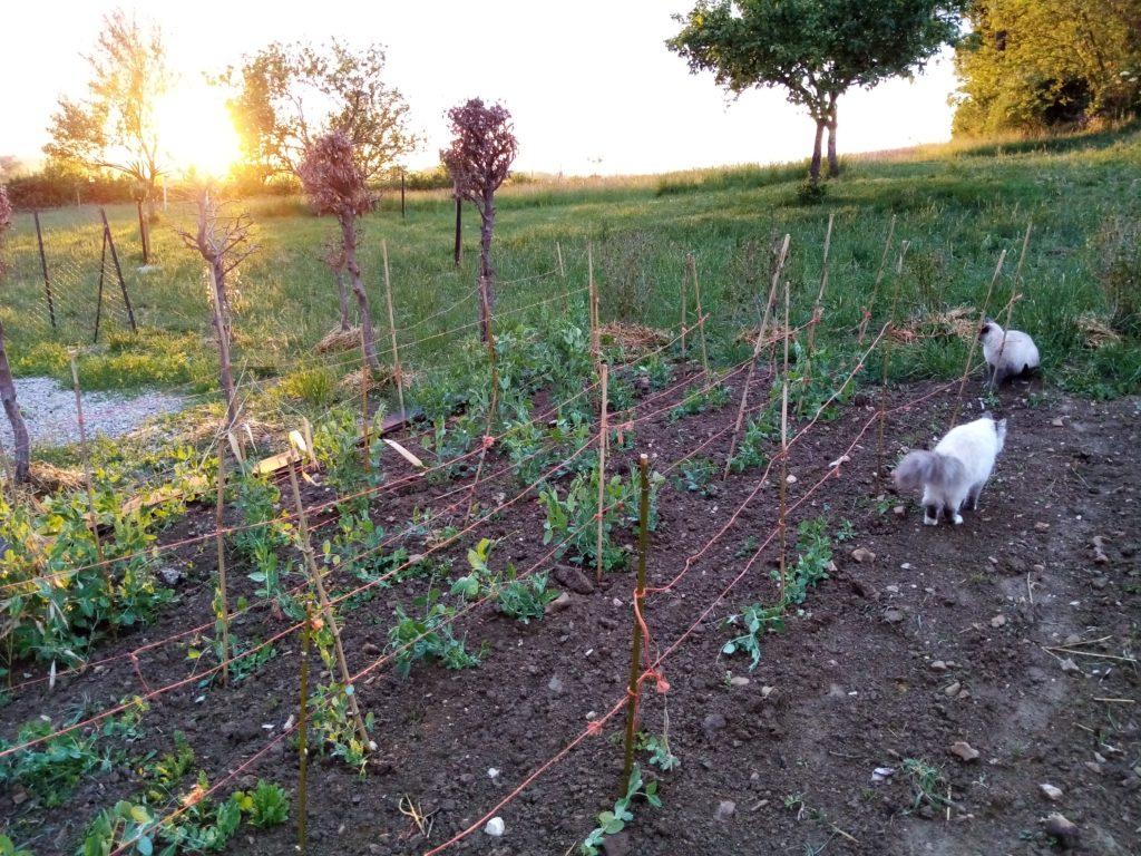 Coucher de soleil à la charmotte avec les chats au jardin