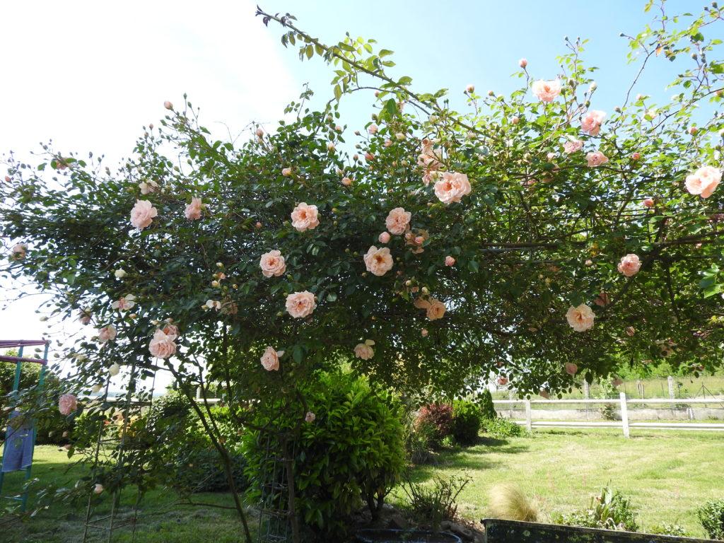 rosier ancien la charmotte