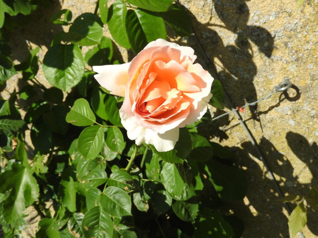 Rose saumon