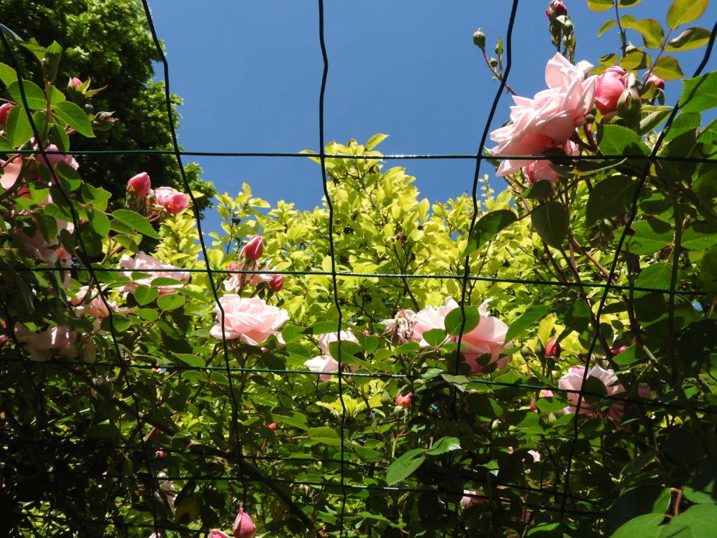 arche-rosier-grosse-fleurs-très-parfumées-la-charmotte