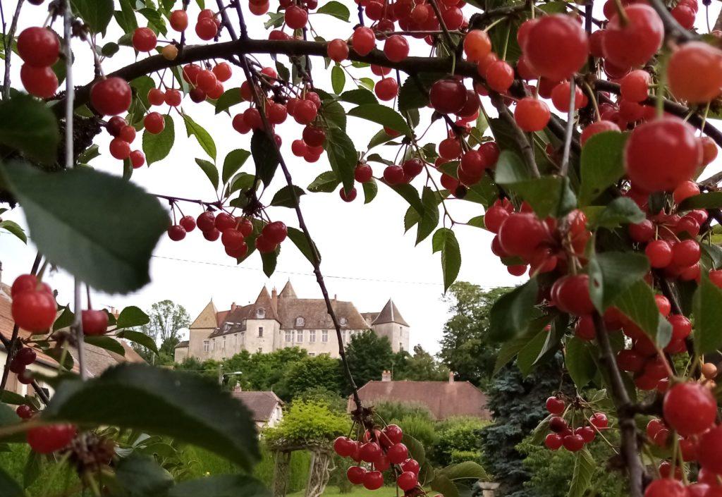 Les cerises près du château de Gy