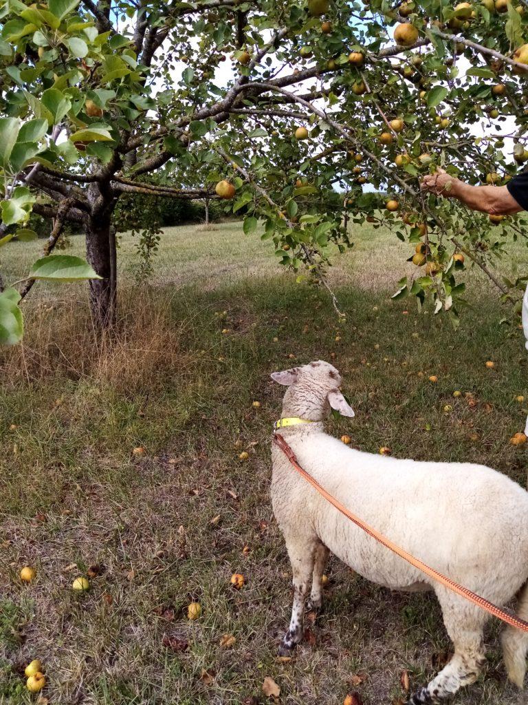 Flockie aime aussi les pommes !