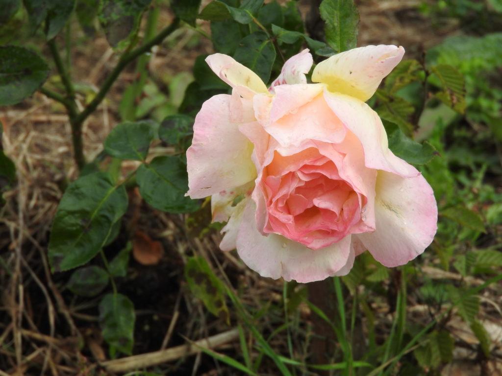 La plus belle, la rose !