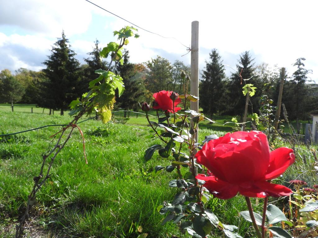 les rosiers à leur apogée