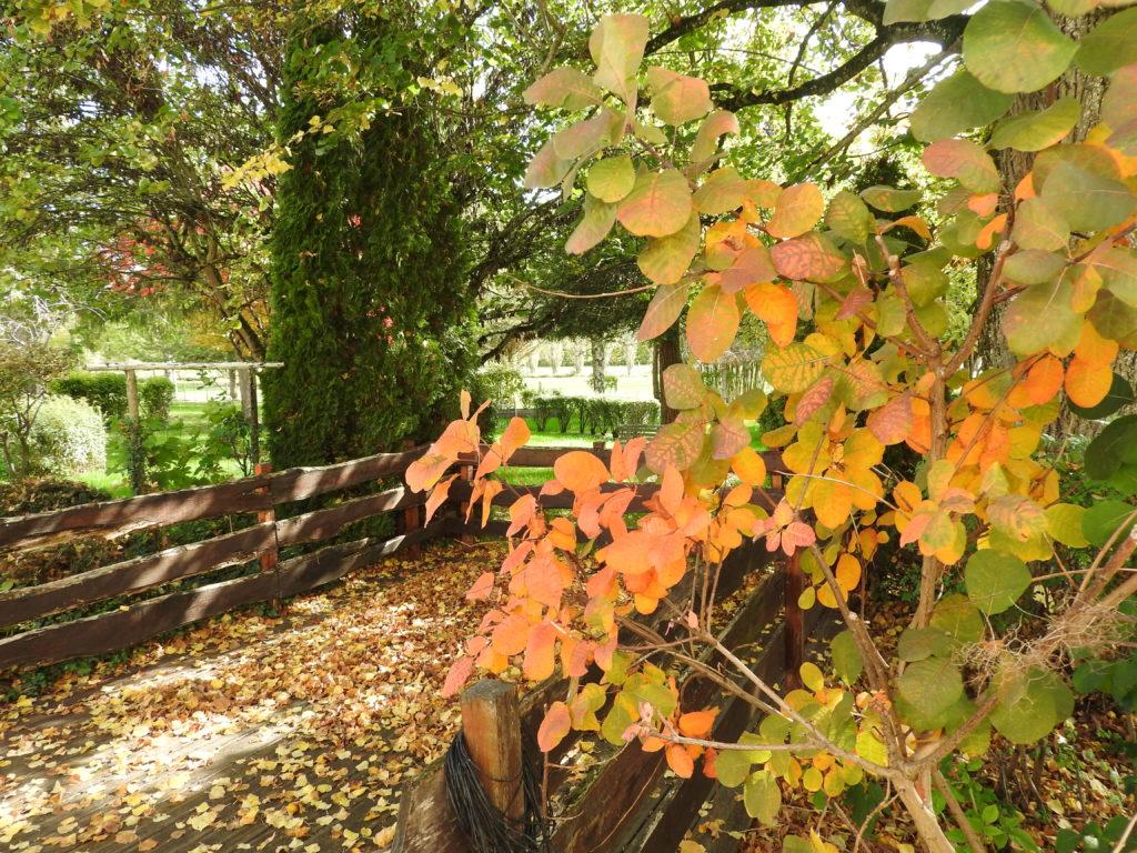 le cotinus superbe à l'automne