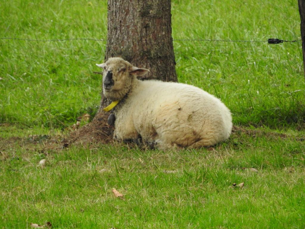 Flockie le mouton de la charmotte