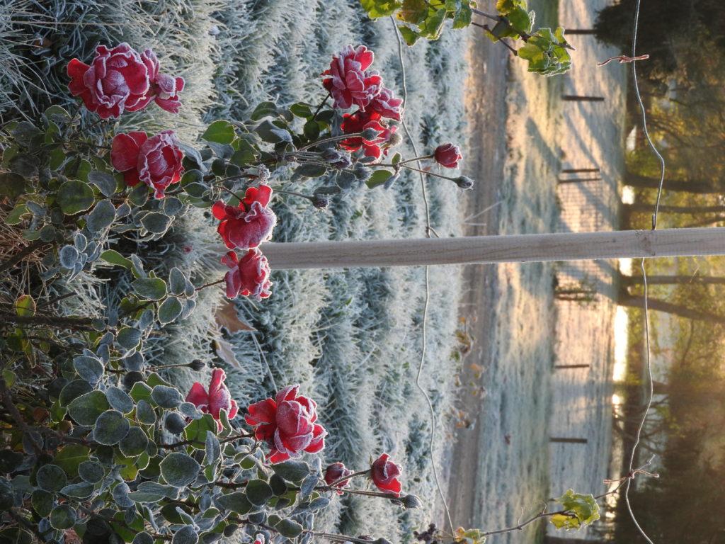roses givrées sur la terrasse avec l'étang derrière