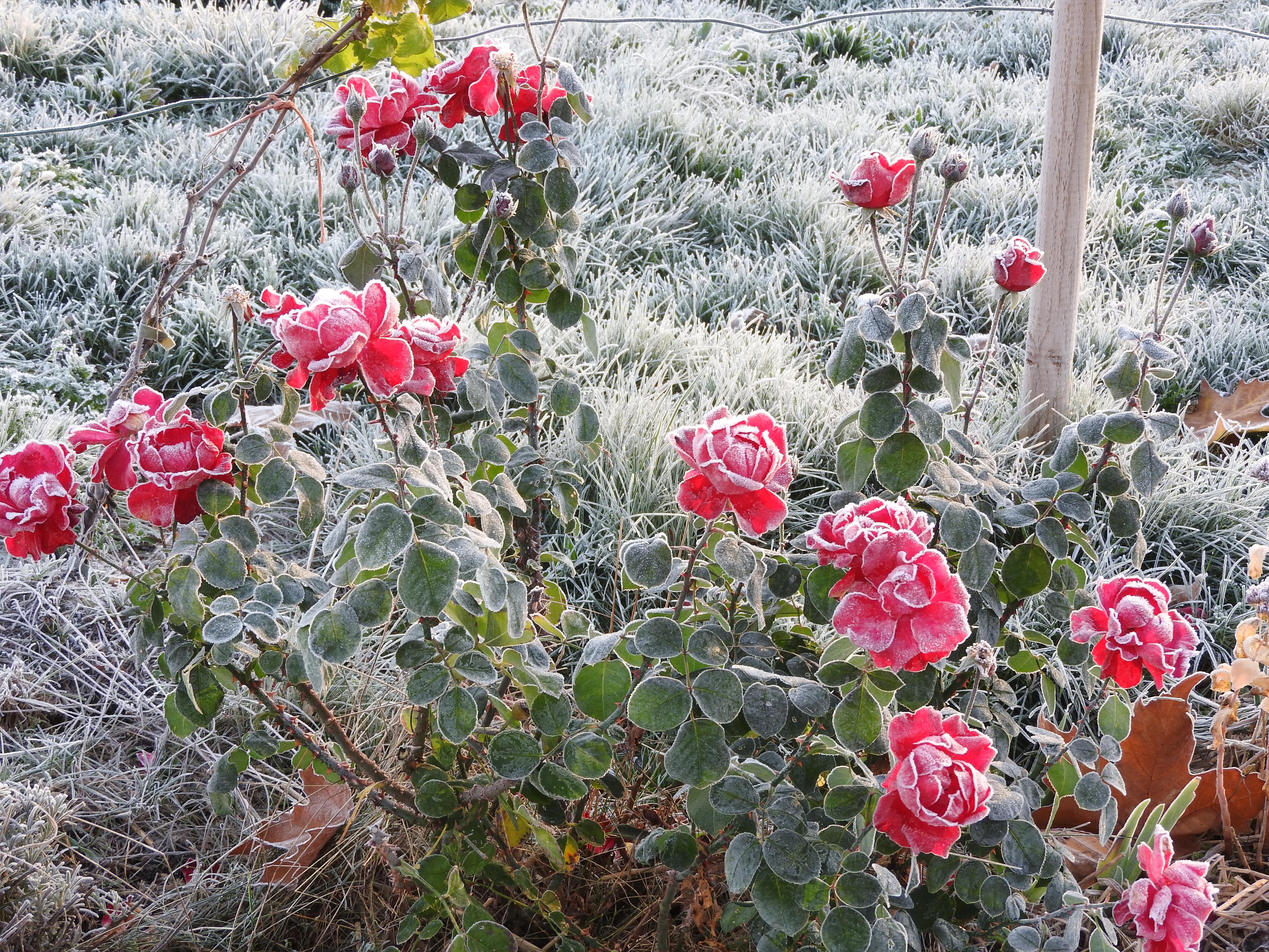 bouquet-de-roses-givrées