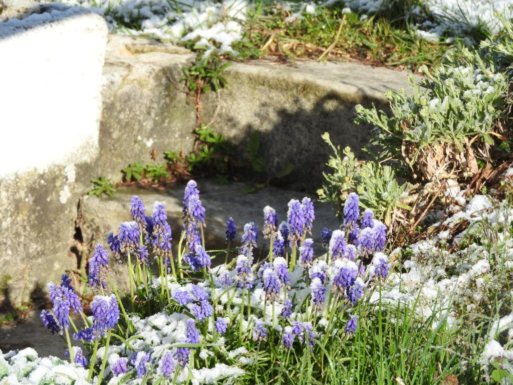 muscaris sous la neige