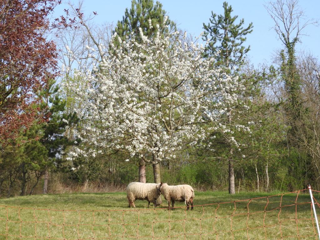 Image-bucolique-des-moutons-sous-les-arbres-fleuris