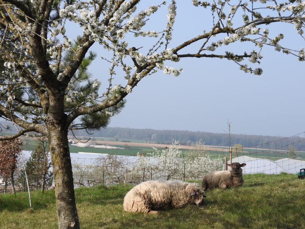 Image des moutons paisibles