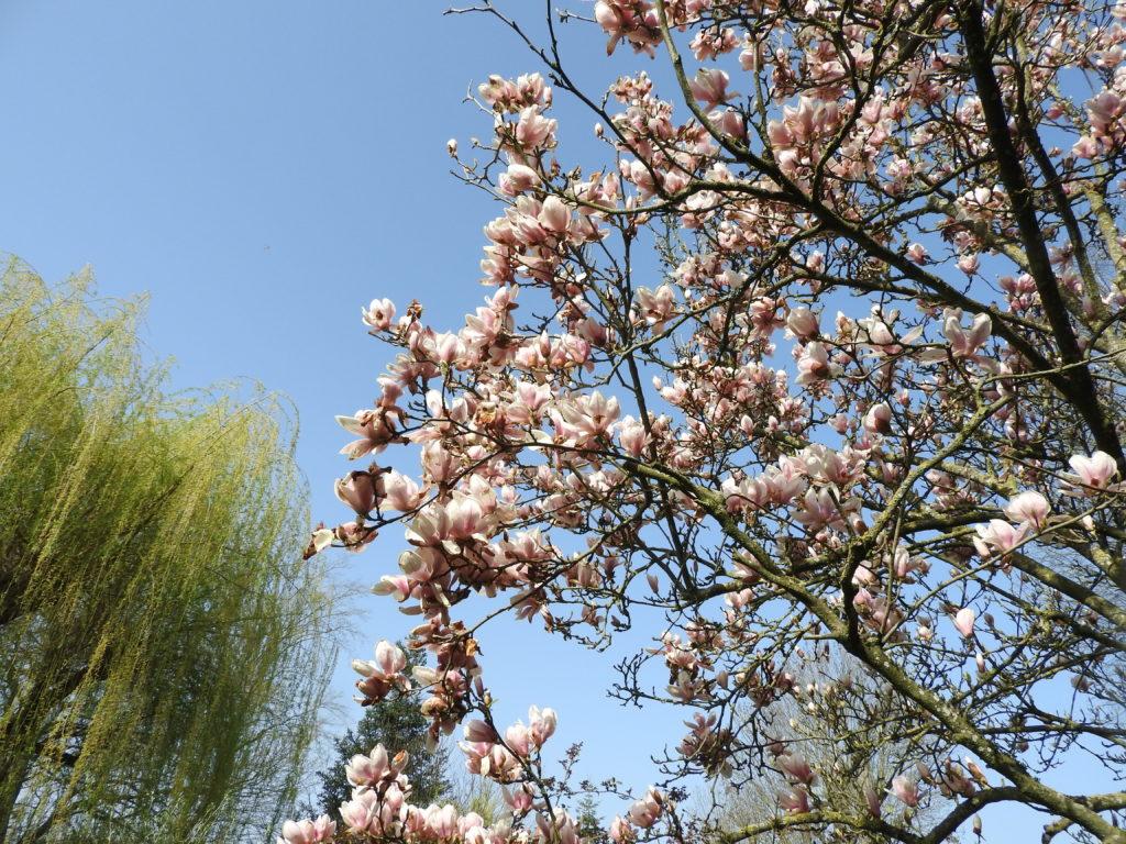 Magnolia à son apogée