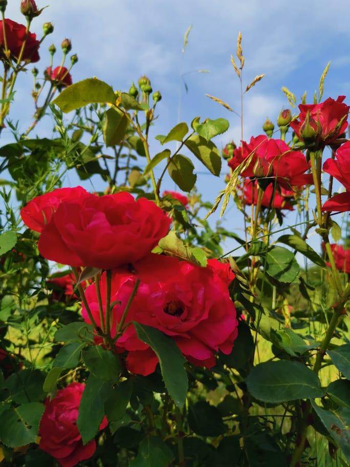 Roses rouges de toutes beautéoses